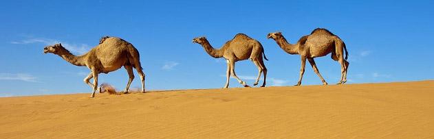 Peygamberimiz deve idrarının içilmesini tavsiye etmiş midir?