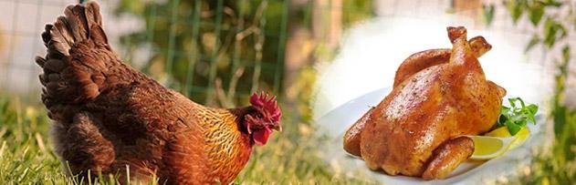 Tavuk, kurt tarzı küçük hayvanları yediği halde tavuk eti neden haram değil?